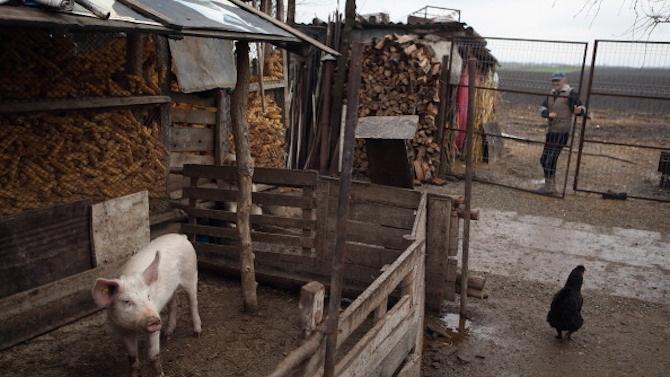Няма случаи на АЧС и Инфлуенца по птиците в Ловешко