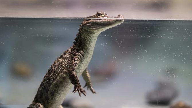 Прародителите на крокодилите са се придвижвали на два крака