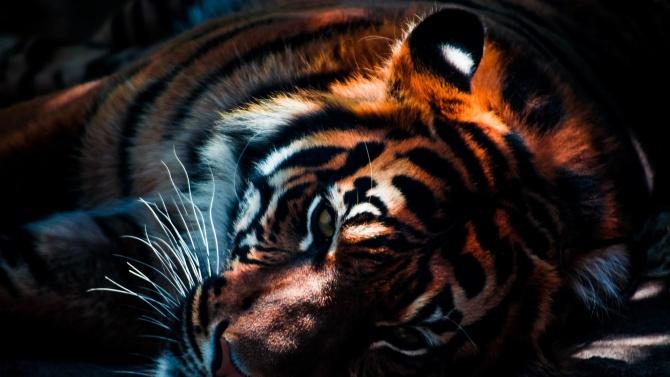 Рядко срещан тигър бе намерен отровен на остров Суматра