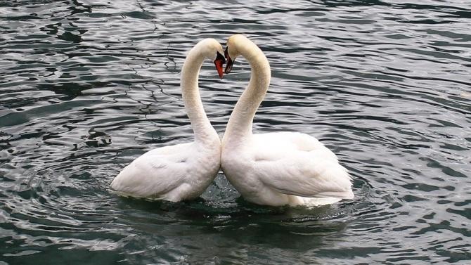 Момиче нарита два лебеда в Лондон