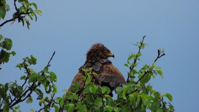 Нови гнезда на малък креслив орел откриха в Източна България при мониторинг на разпространението на вида
