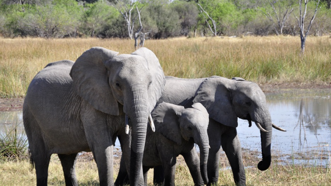 Стотици слонове са починали мистериозно в делтата на р. Окаванго