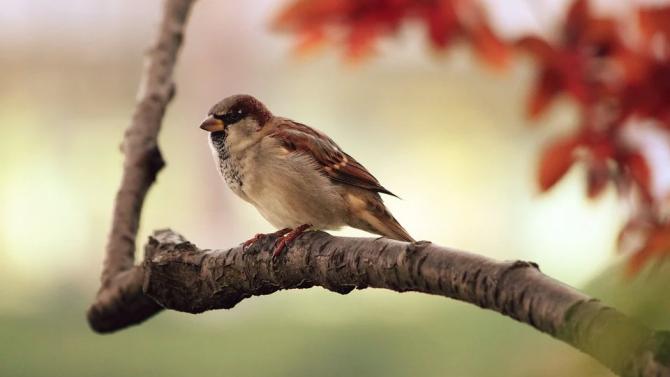 Уникална птича песен, разпространена сред вид врабчета в Канада, измина