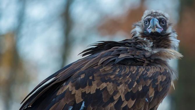 Още 15 черни лешояда пристигнаха от Испания в подкрепа на мисията да се върне видът в България