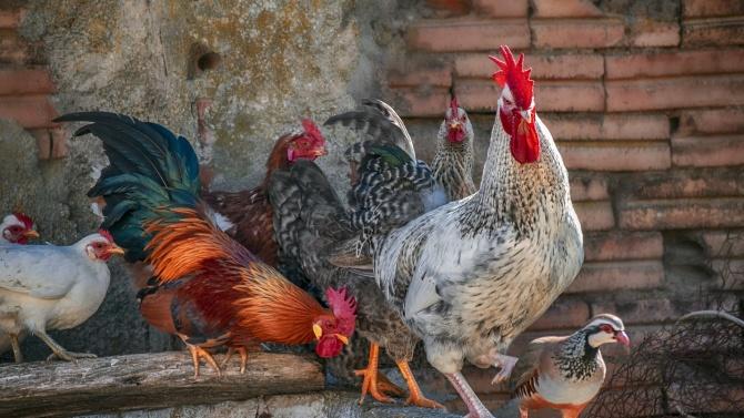 БАБХ откри огнище на нюкясълска болест по птиците във Видинско