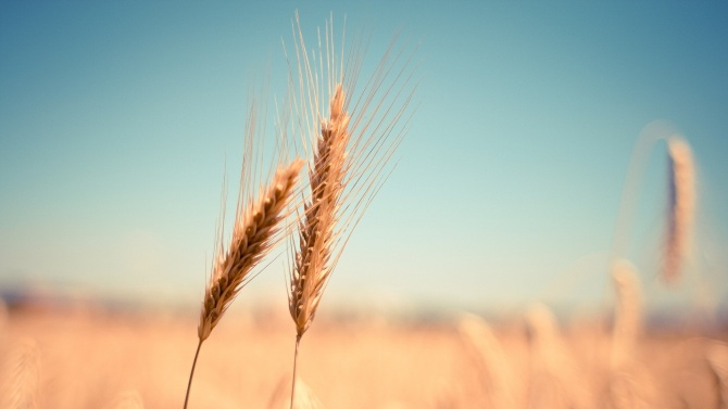 С около 30% по-слаби добиви на пшеница очакват зърнопроизводителите у нас