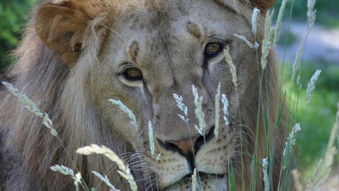 Лъвчето Масуд ходи все по-трудно