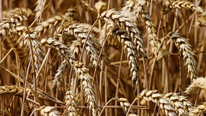 Добивът на пшеница в Русенско е с 25 процента по-нисък от миналогодишния