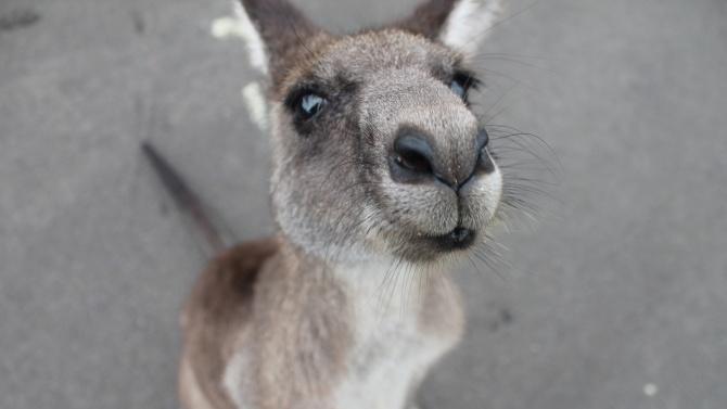 Полицията залови кенгуру, подскачащо из Форт Лодърдейл