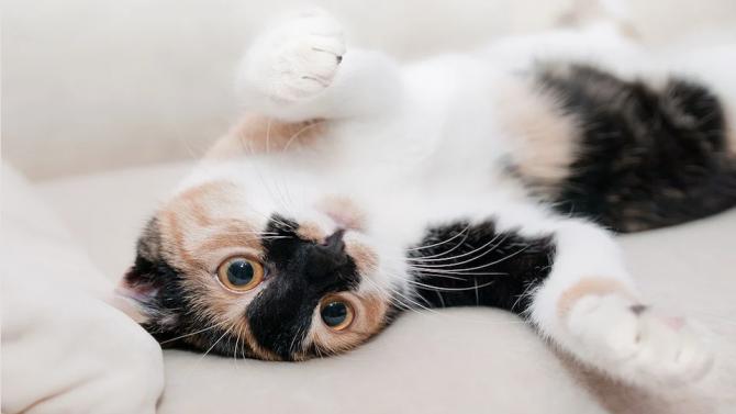 Мъж обвинява котката си за бременността на съпругата си