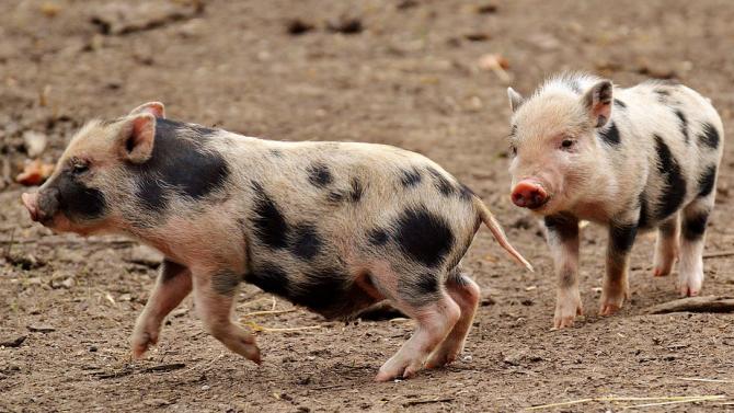 Мини прасенца, отглеждани като домашни любимци, са способни да изпълняват
