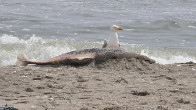 Морето изхвърли мъртъв делфин край Шкорпиловци