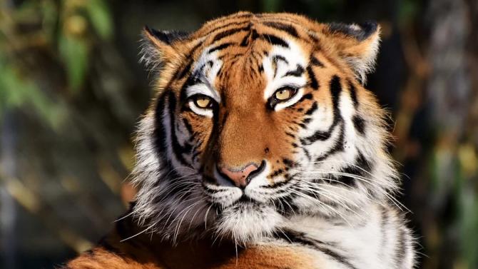 Светът отбелязва днес Международния ден на тигъра