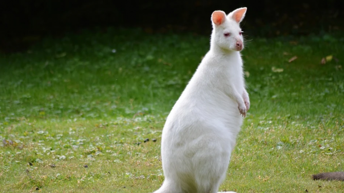 Кенгуру-албинос е най-новият обитател на Зооокъта в Павликени