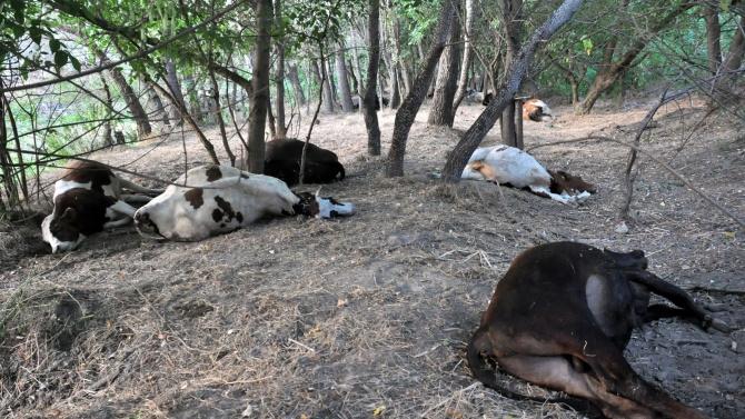 Ето какво е убило стадото крави, пили вода от река Марица