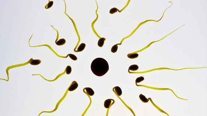 Учени от университета в Бристол установиха, че когато плават, сперматозоидите