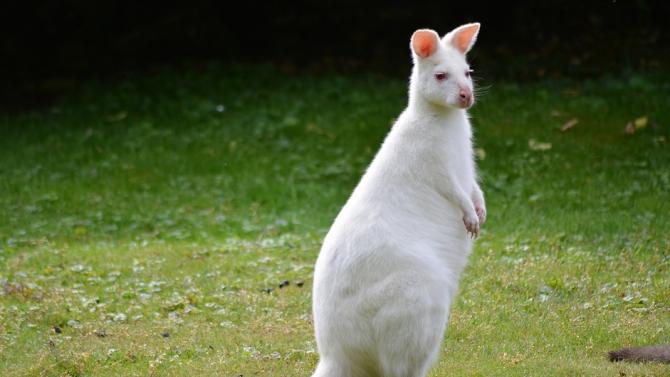 Кенгуру-албинос в зоокъта в Павликени