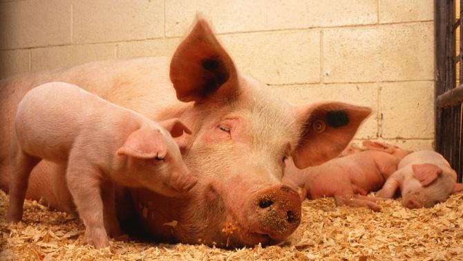 ДФЗ отпуска 15 млн. лева за хуманно отношение към свине за 2020 г.