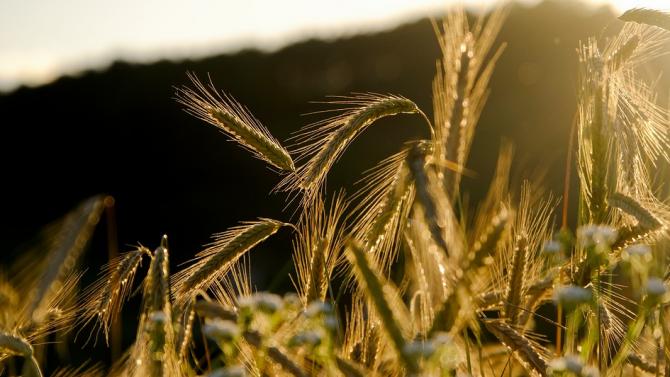 От 5 август зърнопроизводителите кандидатстват за нисколихвени кредити
