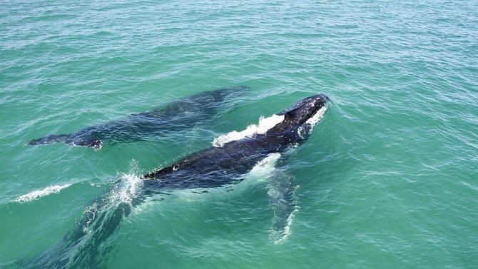 Майка кит и нейното малко решиха да поплуват сред сърфистите