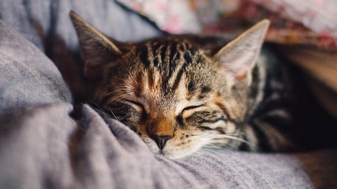 Котките са едни от най-мързеливите животни