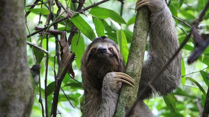 Почина най-възрастният ленивец в света