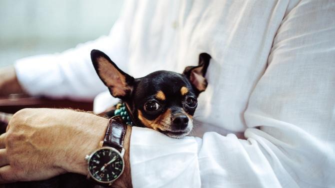 Американец дължи живота си на малкото си куче чихуахуа, което