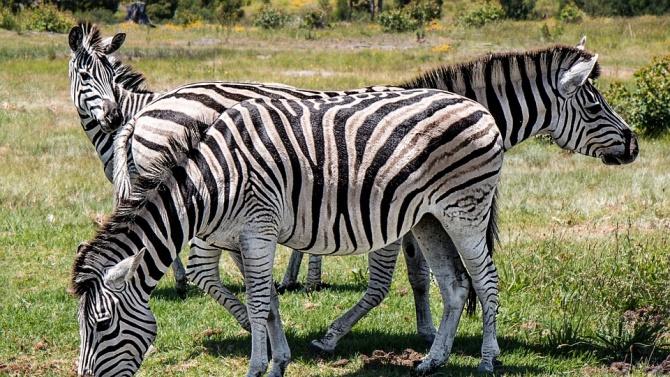 Софийският зоопарк получи стадо зебри