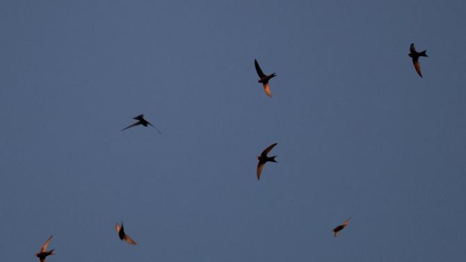 Защитени птици загинаха при ремонт в Казанлък