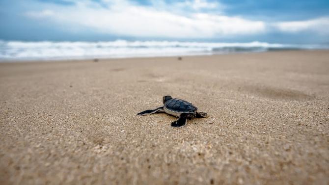 Рекорден брой костенурки се излюпиха на плаж в Турция