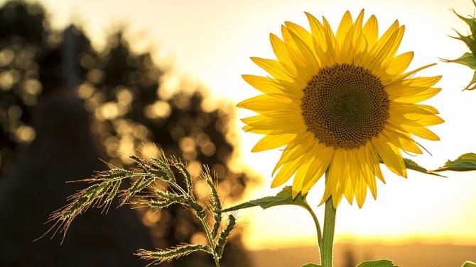 Фестивал на слънчогледа събра занаятчии, фермери и готвачи в центъра на Монтана