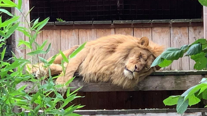И лъвът Иван-Асен болен