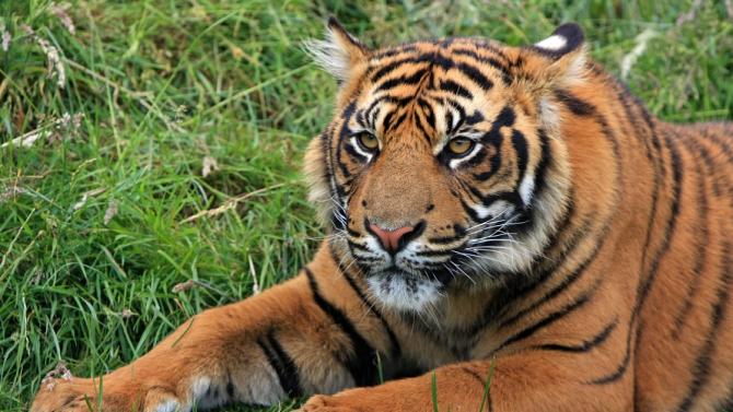 Рядък суматрански тигър умря в капан