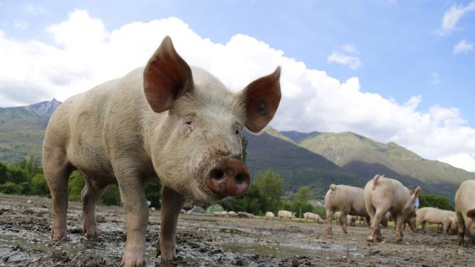 95% положителни проби за африканска чума по дивите свине в Ловешко