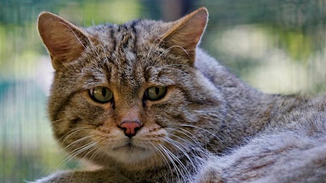 Заснеха редки кадри на северния подвид на тръстиковата котка
