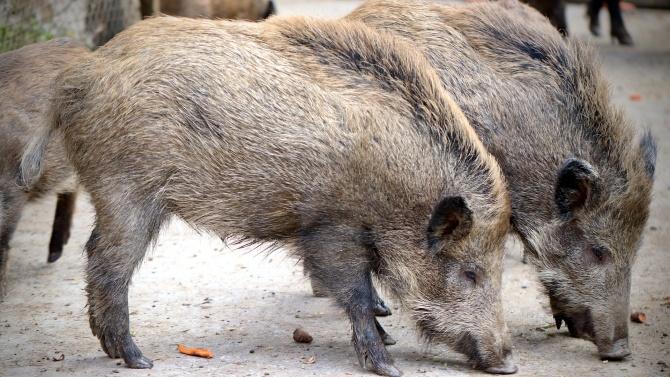 Очакват се резултатите от три проби за африканска чума по дивите свине в Ямболска област