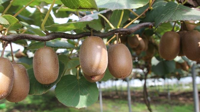 Производители на киви се оплакаха от липса на възможност за субсидии