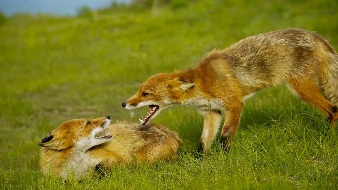 БАБХ извършва ваксинация на лисиците срещу бяс в 23 области