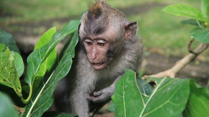 Маймуна открадна телефона на студент, за да си направи селфита
