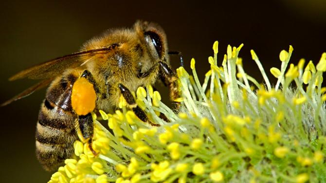 Биолози научиха пчели да опрашват растения по миризмата