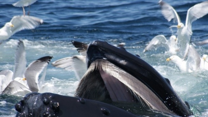 Близо 500 са китовете, заседнали в плитчините край остров Тасмания