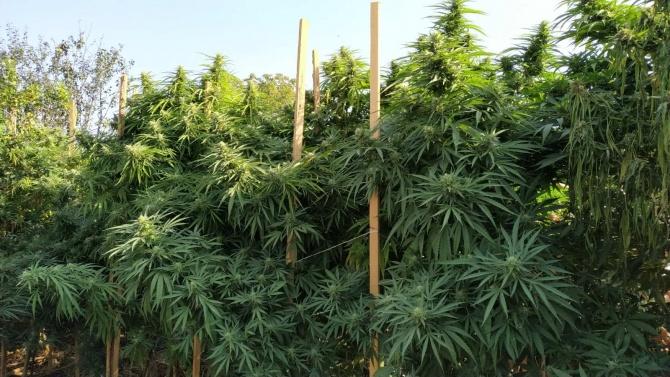 Криминалисти разбиха добре оборудвана и прикрита оранжерия с марихуана в