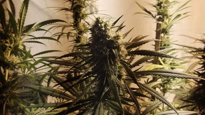 Домашна наркооранжерия разкриха край Кърджали