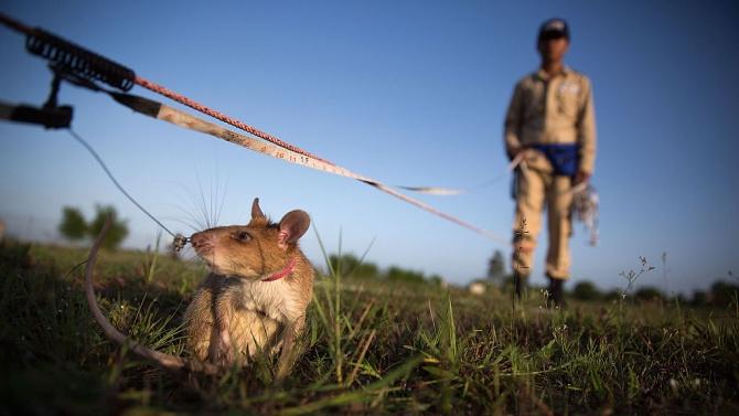 Наградиха плъх със златен медал за откриване на противопехотни мини в Камбоджа