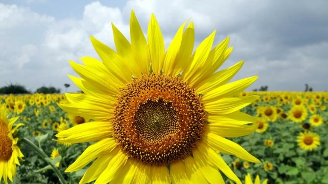 Близо 55 000 тона слънчоглед прибраха земеделците в област Разград