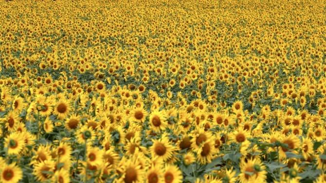 Жътвата на слънчоглед в Ямболска област завърши при среден добив 154 килограма от декар