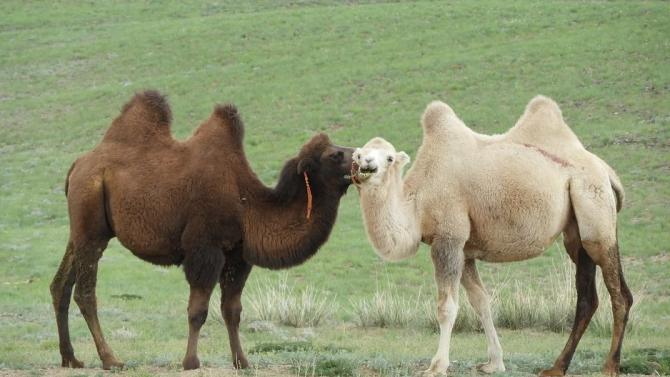 Рядка бяла камила е заснета в Китай