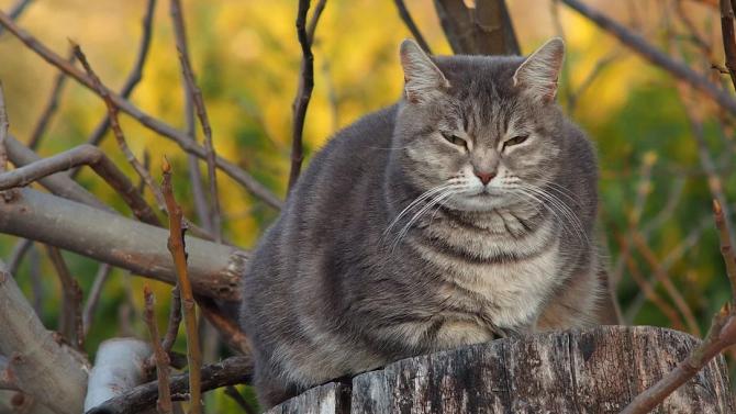 Дебела котка на име Лазаня е подложена на диета и фитнес режим