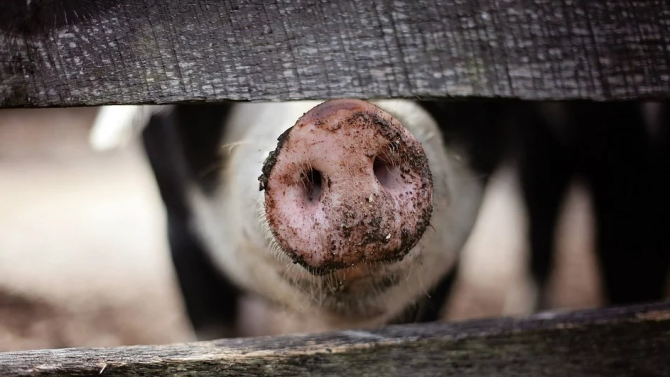 В Ловешка област се забранява търговията, придвижването и транспортирането на домашни свине