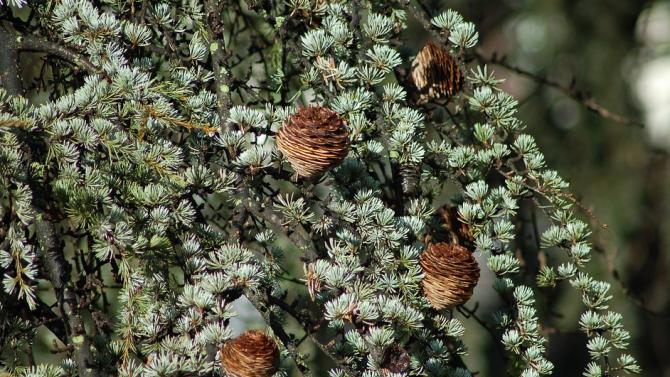 В Стара Загора са засадени хималайски кедърчета